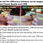How to tell the difference between larval stages of Oriental Flower Beetle and CRB sm file